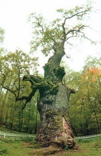 * 1350-річний дуб на Рівненщини - найстаріше дерево України. *