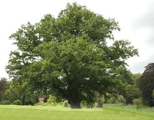 * Найстаріше дерево України - 1350 річний дуб, що росте на Рівненщини *